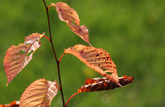 Autumn leaves on Cherry tree