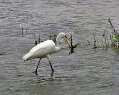14/50 grande aigrette-great egret