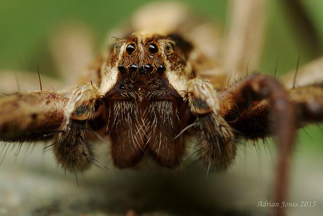 Nursery Web Spider (Pisaura mirabilis).
