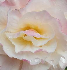 Tristesse / Sadness (Begonia)