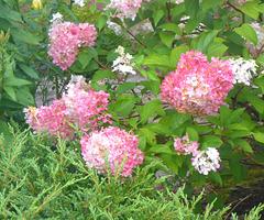Hortensienblüten - floroj de hortensio