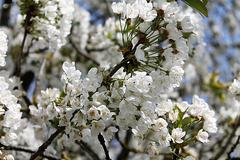 le printemps en blanc