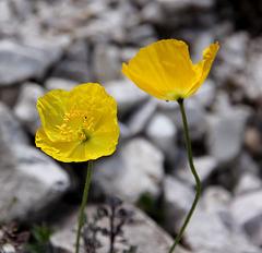 Gelber Alpenmohn (PicinPic)
