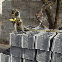 Trauriger Affe am Strick