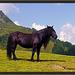 Noriker Pferd