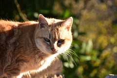 chat le rouquin