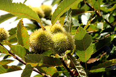 Maronen, sweet chestnuts (PIP or Pic in Pic))