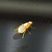 Diptera: Chyromyidae - Chyromyia sp