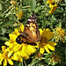 29 A NEW BUTTERFLY TO HERE !WEST COAST LADY (VANNESSA ANNABELLA ) NOW 54 SPECIES OF BUTTERFLY HERE