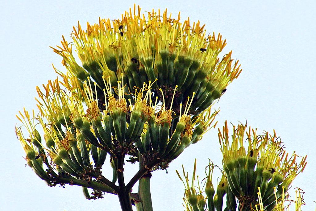 agave fleurie