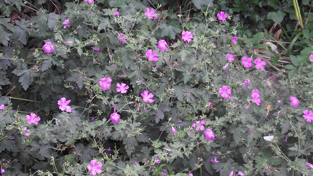 Lovely bunch of mallow