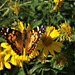 30 A NEW BUTTERFLY TO HERE !WEST COAST LADY (VANNESSA ANNABELLA ) NOW 54 SPECIES OF BUTTERFLY HERE