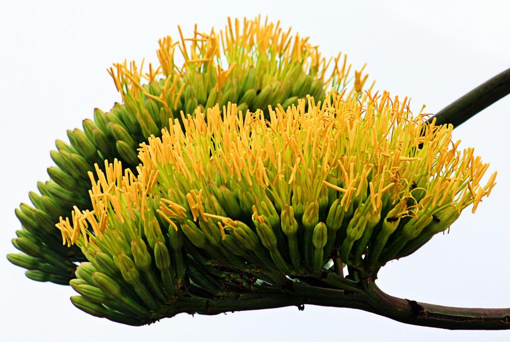 agaves fleurie +1-1