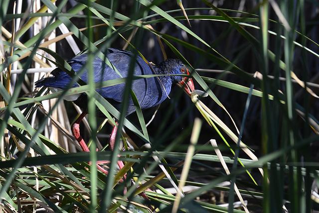 Porphyrio porphyrio, Camão, Purple swamp-hen
