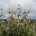 Phlomis purpurea, Lamiaceae
