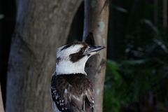 355/365 Young Kookaburra