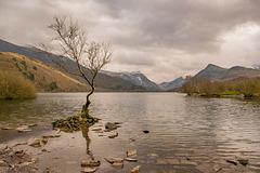 The lone tree, Lake Padarn