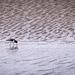 Lone Oystercatcher