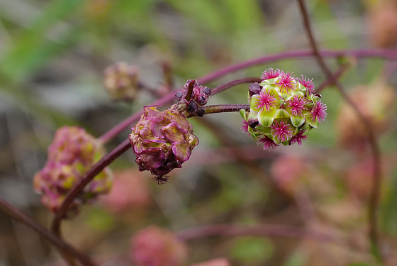 Sanguisorba verrucosa, Rosaceae
