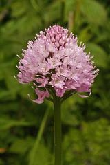 Orchis globuleux = Traunsteinera globosa, Orchidées (Haute-Savoie, France)