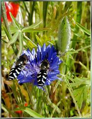 Breitkopf-Frühlingsschwebfliege. (Melangyna labiatarum) ©UdoSm