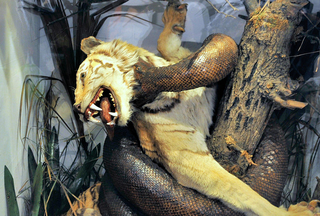 Museum display tiger & python.