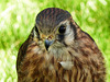 American Kestrel - or is it a Merlin?