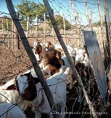 HFF to all!   (greetings from Namibian Goats)
