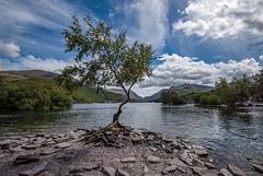 The lone tree, Lake Padarn9