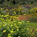 Sinapis alba, Brassicaceae, Penedos, Alentejo