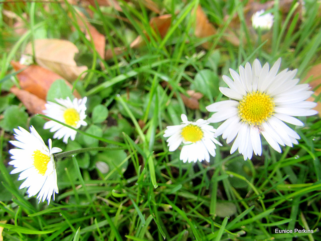 Daisies Decorating Our Back Lawn.