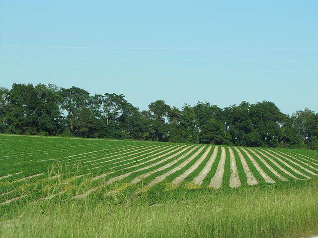 Ribbons of Green!   Rural Georgia   USA