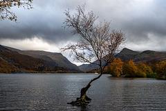 The lone tree, Lake Padarn11