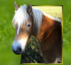Ein neugieriges Pferdl schaut durch ein 'Fenster'. ©UdoSm