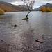 The lone tree, Lake Padarn14.