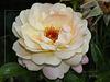 Pour l'amour d'une rose...