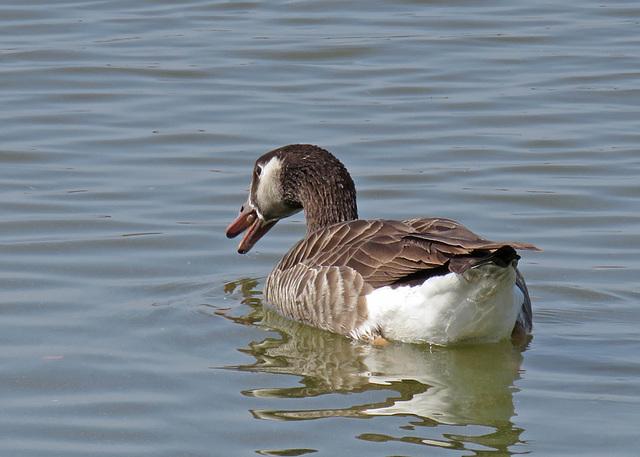 Canada Goose x Greylag Goose
