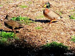 Quack, Quack! Come Back!