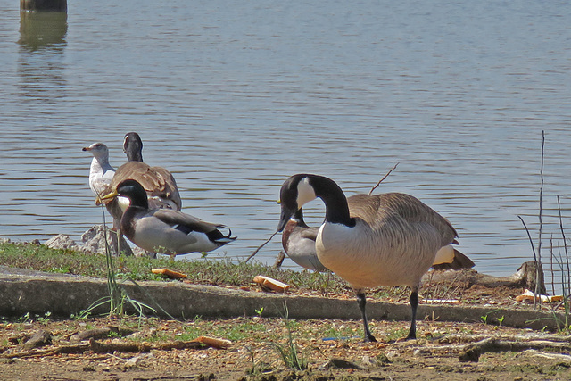 Geese, Ducks, and a Gull