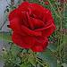 v rózsa 09