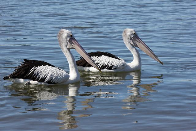 187/365 Pelican Pair
