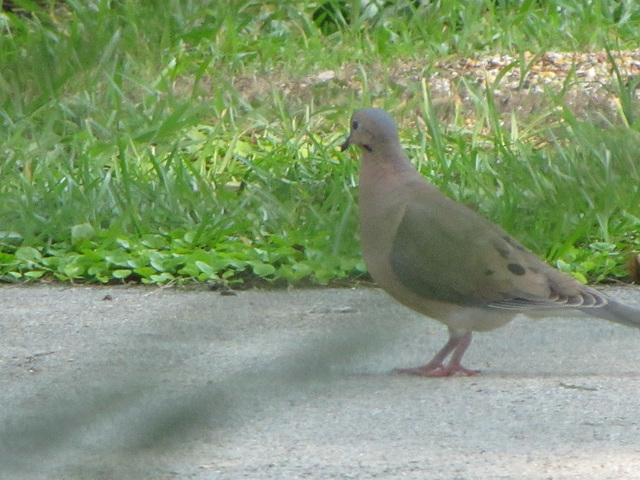 a frequent visitor in the garden ~~