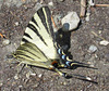 Flambé / Tiger swallowtail