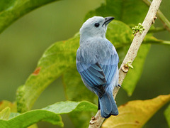 Blue-gray Tanager, Trinidad