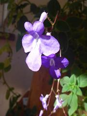 Violette Blüte - viola floro