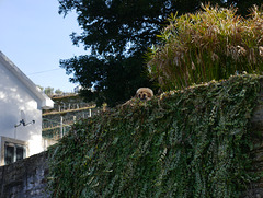 Serra da Estrela shepperd dog