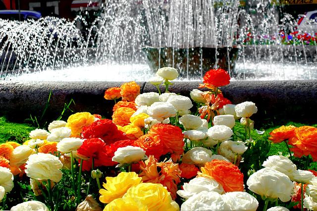 Ranunkeln. (Ranunculus asiaticus)  ©UdoSm