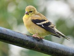 American Goldfinch juvenile / Spinus tristis