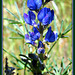 Wild lupin - electric blue