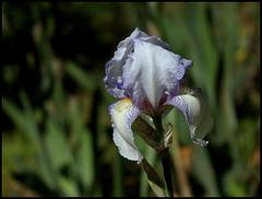 Iris Ma Mie (1)